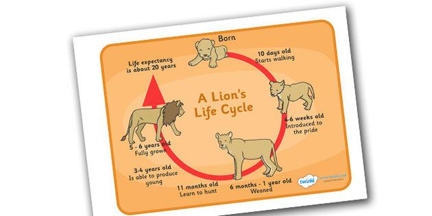 life    cycle    of a lion    diagram     Google Search   Projects to