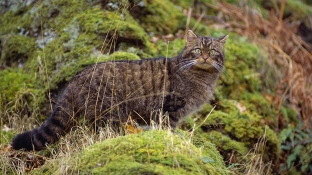 Easier To Spot And Save Winter Wildcats Scottish Animals Cats