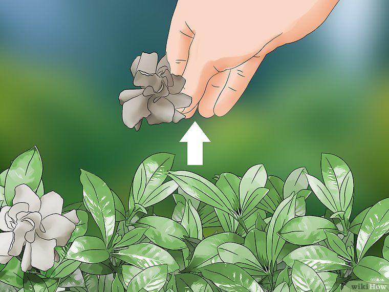 Prune a Gardenia Bush in 2020 Gardenia bush, Gardenia