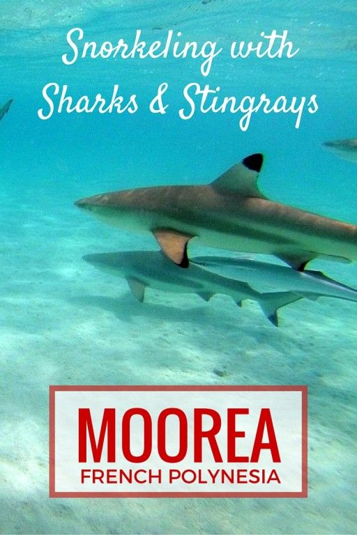 Snorkeling With Sharks And Stingrays In Moorea