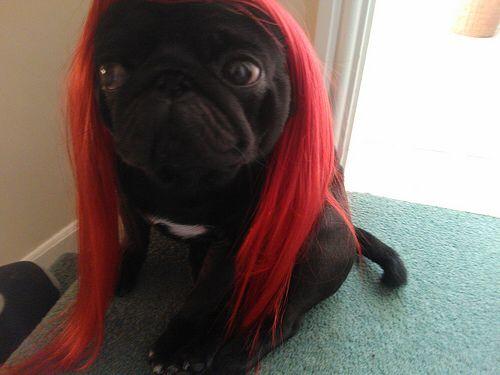 Pug Red Pugs Red Wigs Mastiffs
