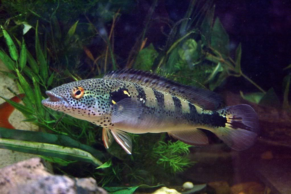 Pike cichlid thread pike cichlids fish keeping for African freshwater fish