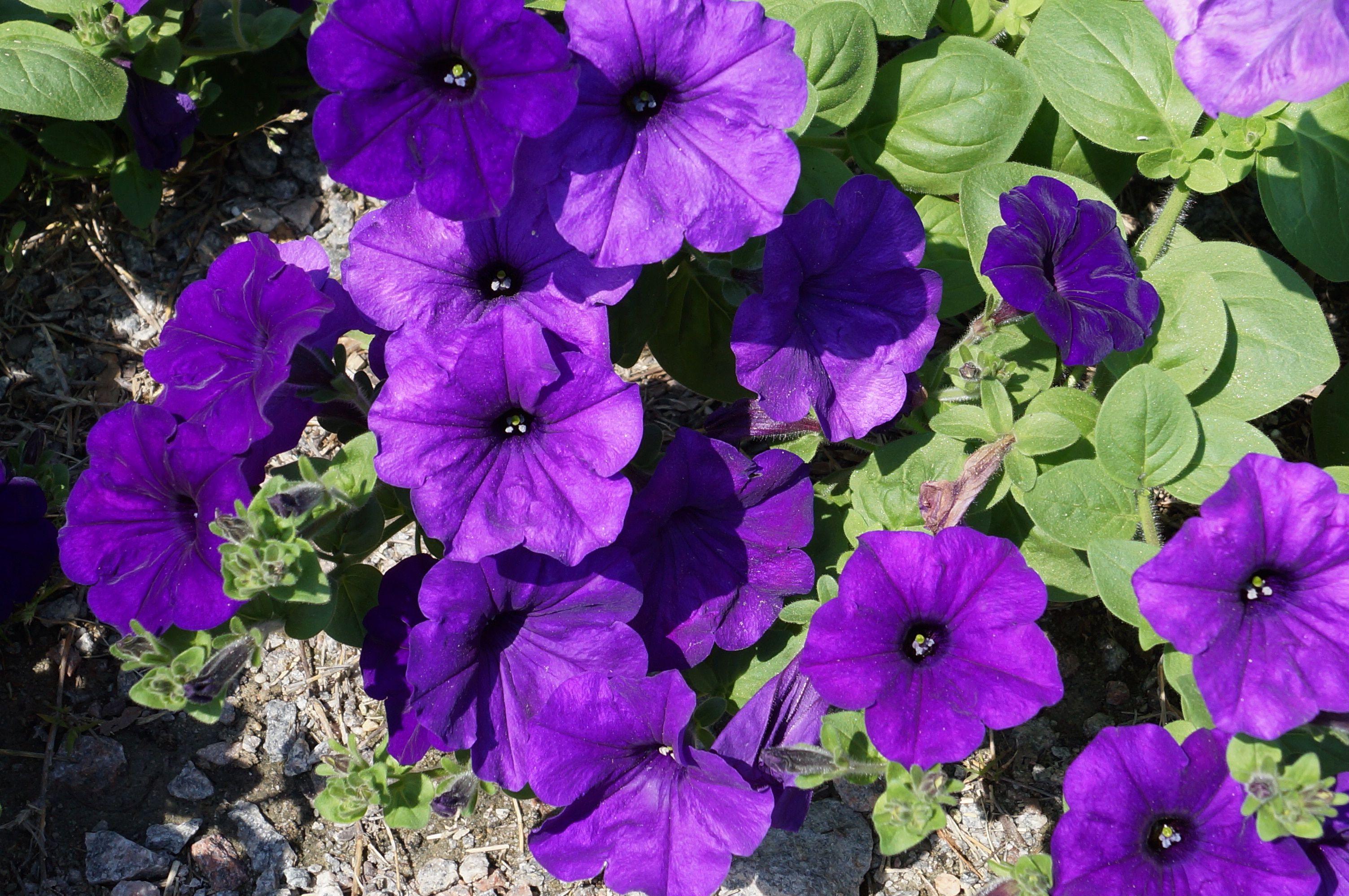 Purple Dance Of Petunia Beautiful Flowers Flower Pictures Beautiful Flowers Pictures