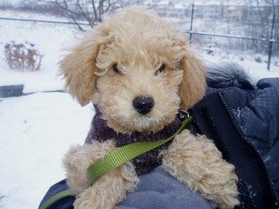 my dream dog: the labradoodle!