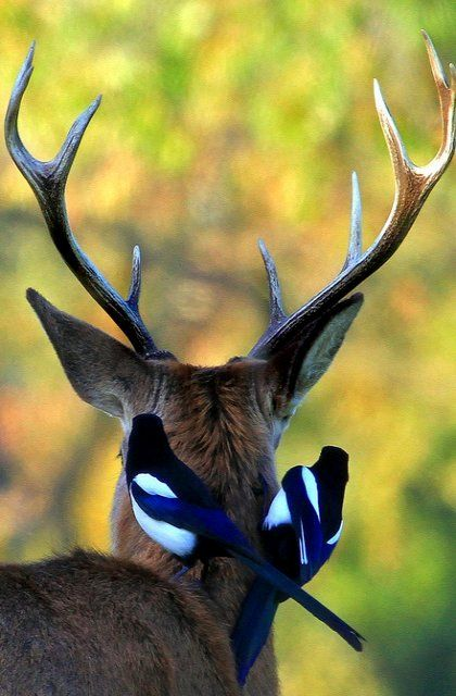 Deer with Magpies.. Richmond Park, London (by paulafrenchp)