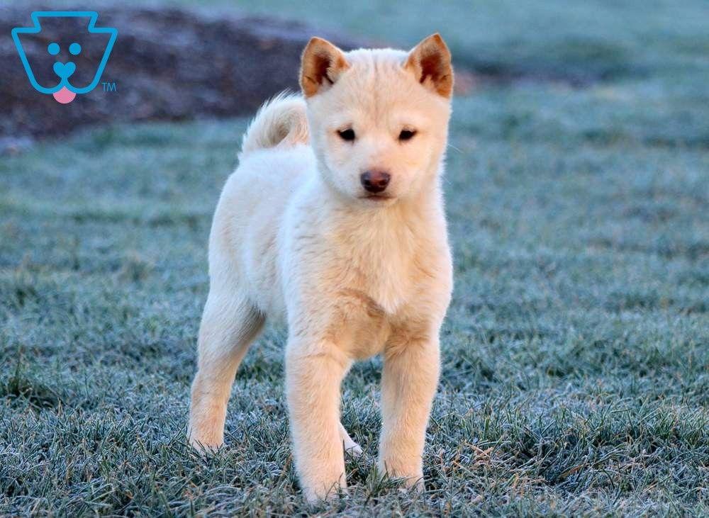 Brady Puppies Shiba Inu Puppy Shiba Inu