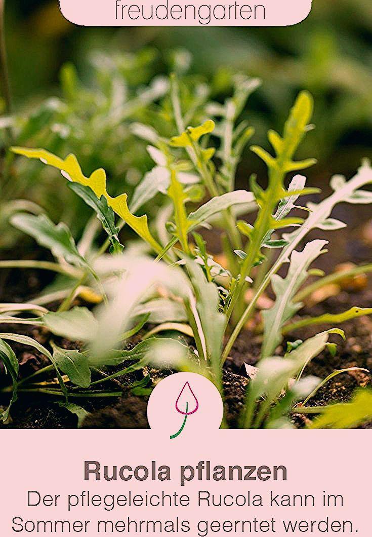 Photo of Rucola pflanzen