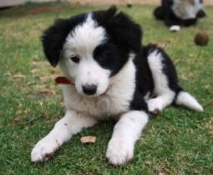Border Collie Puppies For Sale In Pa Border Collie Puppies