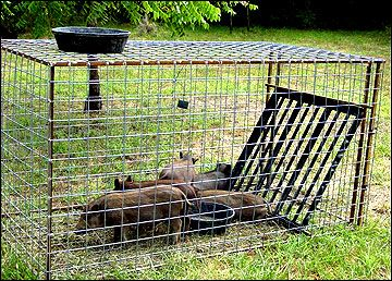 One Way Trap Door Missouri Extension Hog Trap Hog Hunting Animal Traps
