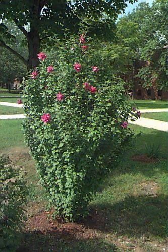 Rose of sharon Hibiscus syriacus habit Large Shrubs