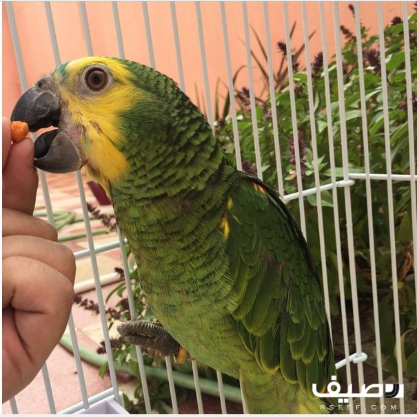 لهواة تربية الطيور ببغاء امازوني بلوفرنتد جاكو فرخ جامبو للبيع على رصيف فى السعودية فرخ بلوفرنتد جاكو جامبو حجل ذهبي العمر من 5 الى 7 شهور م Parrot Bird