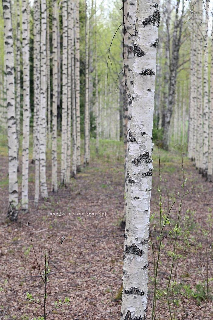 koivikkoa / birches