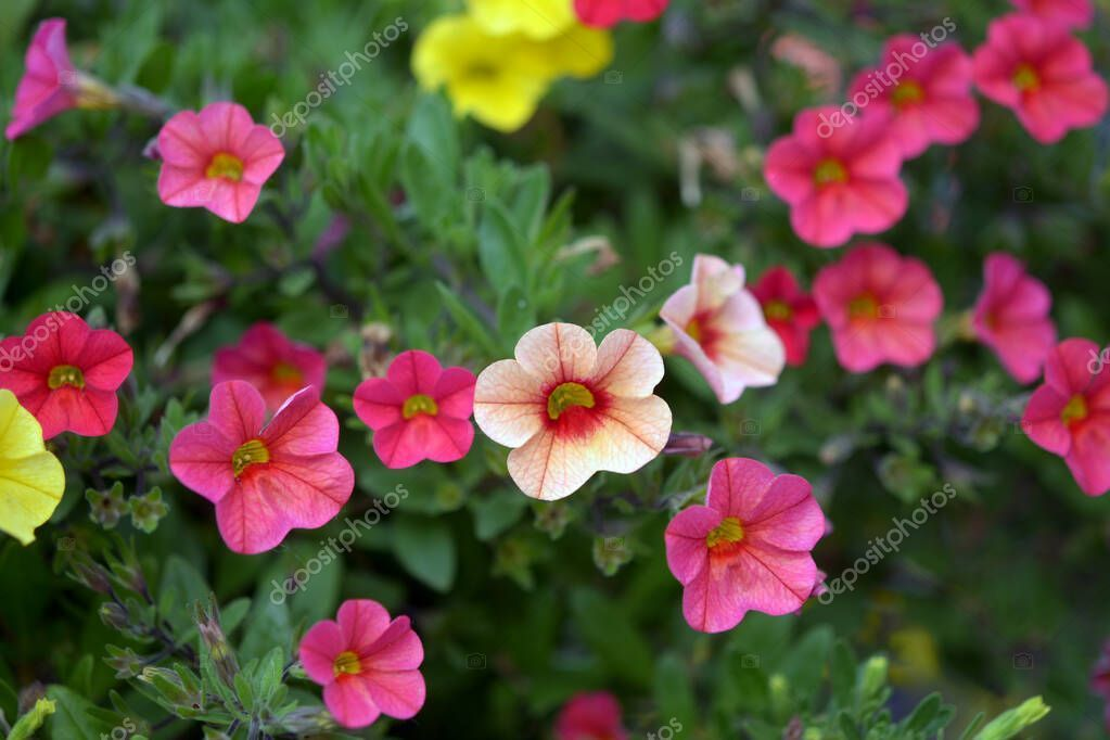 Orange Petunia Flowers Garden Shallow Deep Field Stock Photo Sponsored Flowers Garden Orange Petunia Ad Flower Ga In 2020 Flower Garden Petunias Flowers