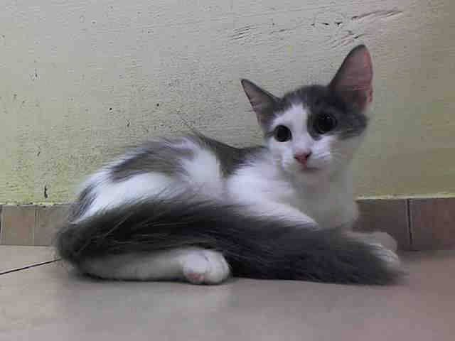 Safe With Anjellicle Cat Rescue My Name Is Bart Id A1015247 I Am A Male White Gray Kitten 13 Weeks Old Bond Why Do Cats Purr Cats And Kittens Grey Kitten