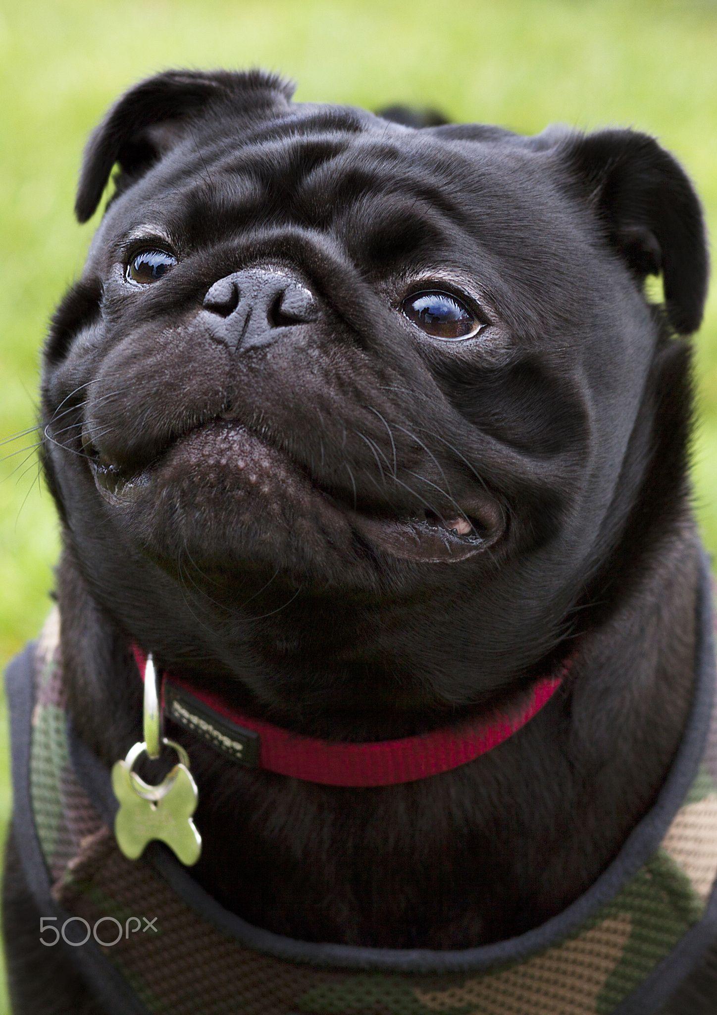 Caroline Abbotsford Black Pug Pugs Pug Dog