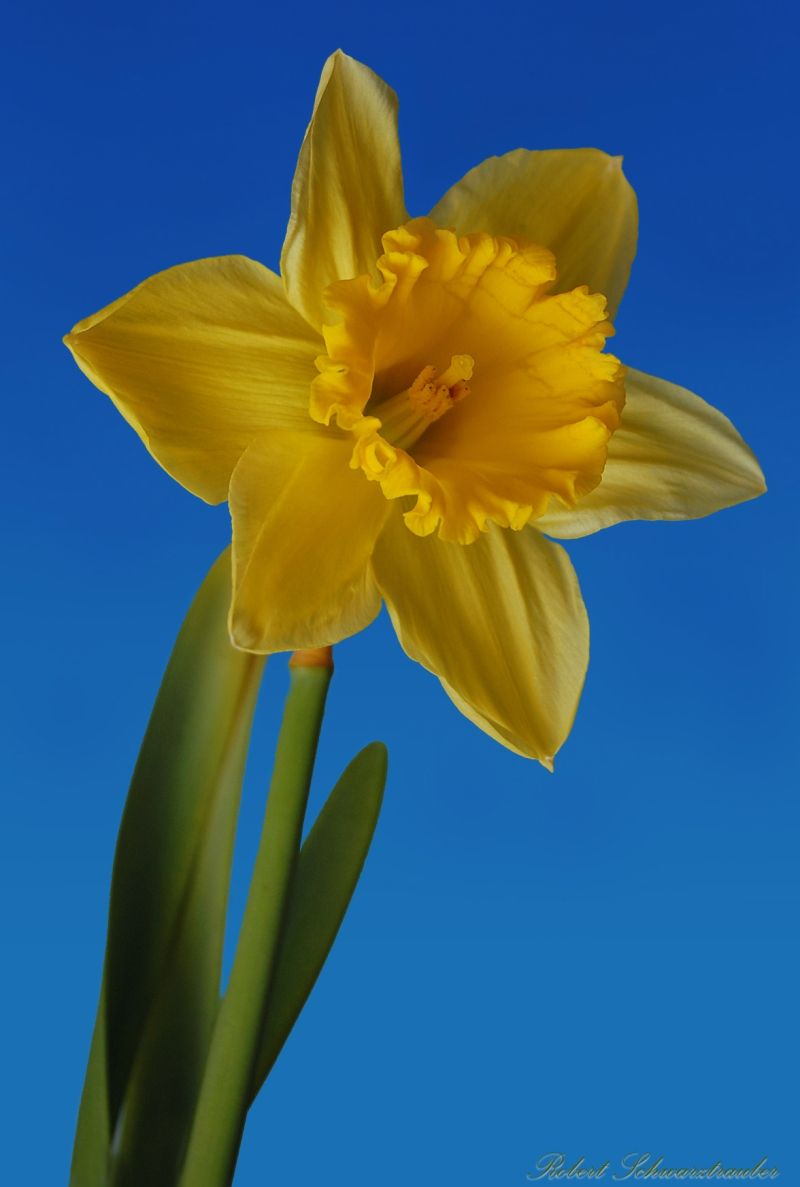 Marchs Birth Flower Is The Daffodil Which Symbolizes Rebirth