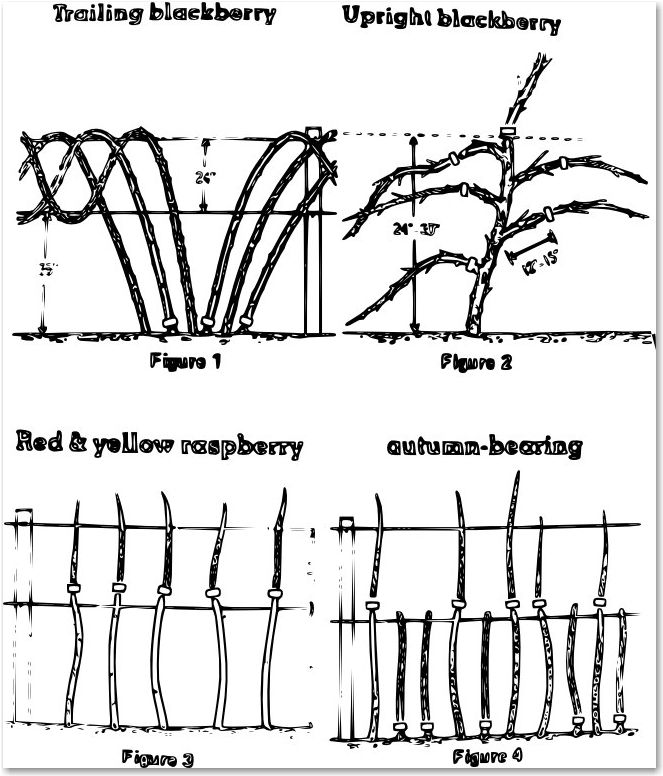 pruning diagram 1   for red raspberries and black caps