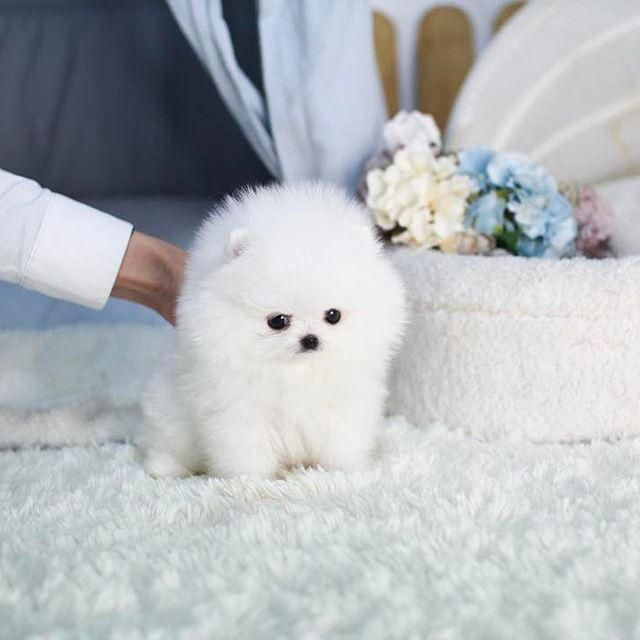Teacup Pomeranian Puppies Home Available Poms Pomeranian Puppy Teacup Teacup Pomeranian Pomeranian Puppy