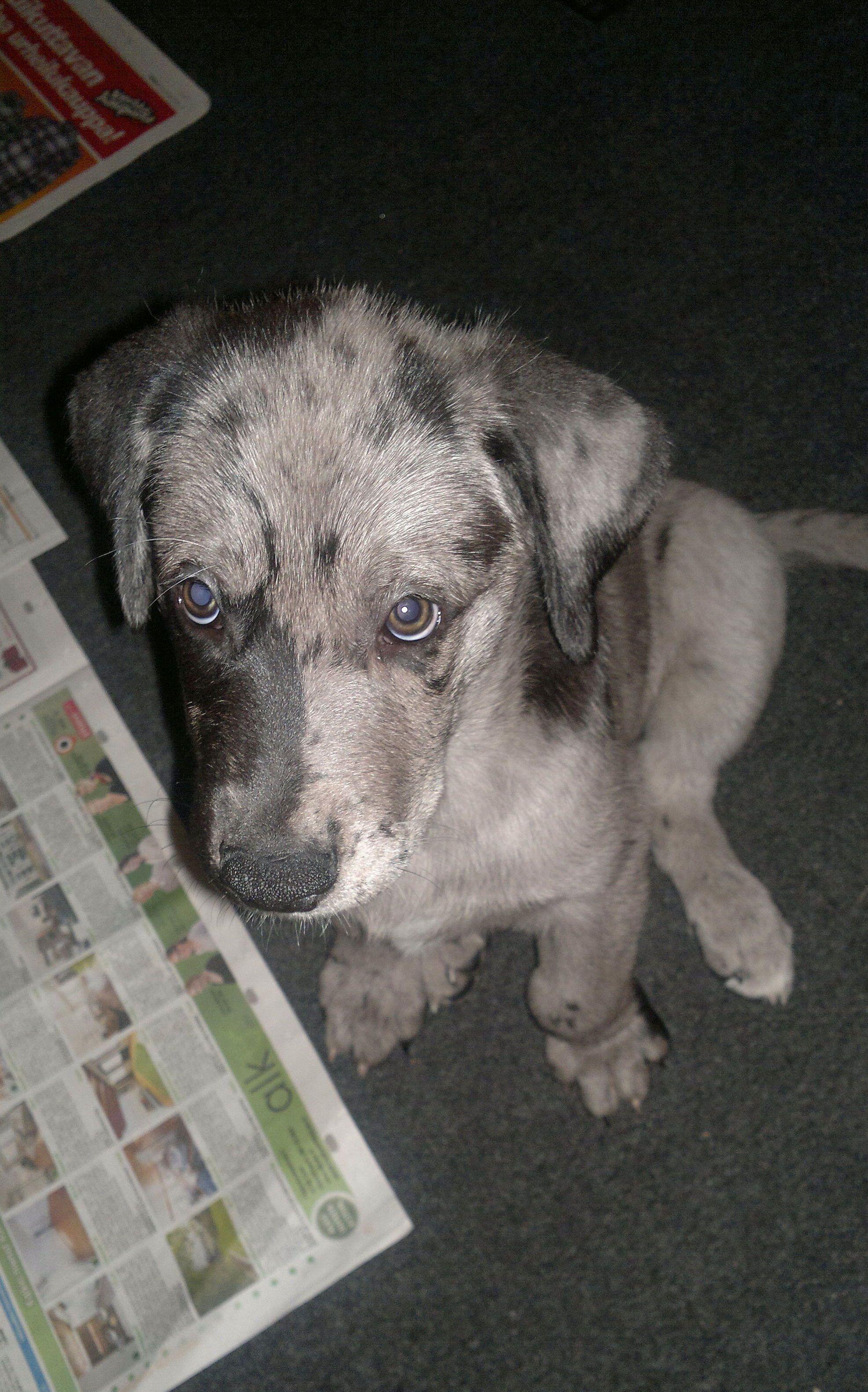 Eino The Half Greatdane Puppy Baby Animals Animals Great Dane