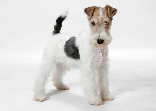 Wire haired terrier 101