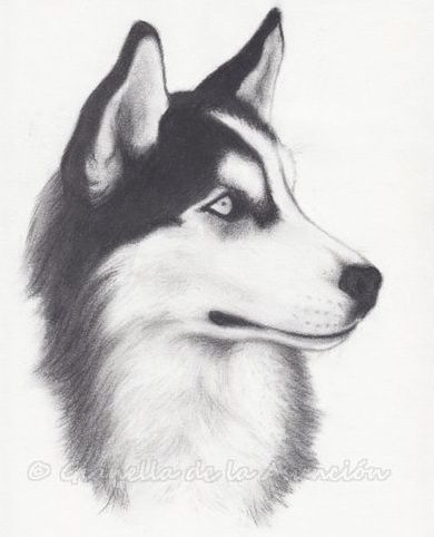 Siberian Husky - Outgoing and Cheeky | Arte | Pinterest | Drawings ...