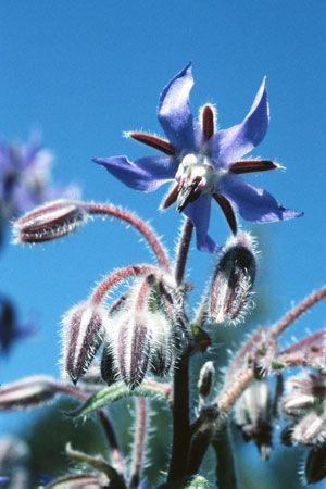 Thought to originate in Syria, borage is now naturalized throughout most of Europe and the United States. It flourishes as a weed near houses and on rubbish heaps. While many modern gardeners consider it a nuisance, it was traditionally grown in gardens to use as an herb, for its edible flowers, and for its ability to increase the yields of honey.