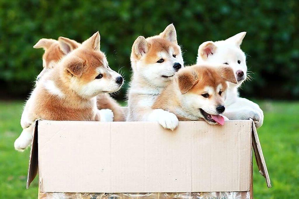 «Коробка со щенками акиты.» — карточка пользователя ...