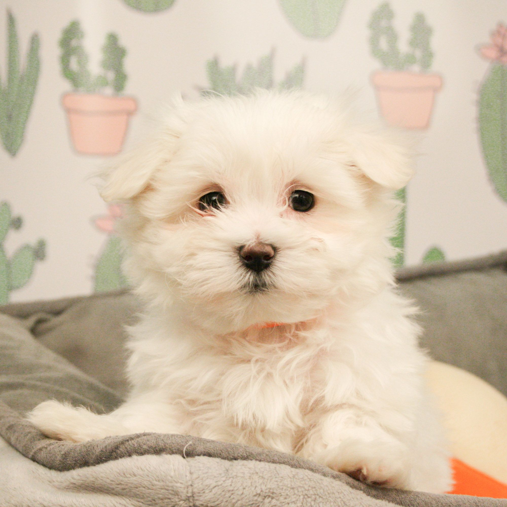 Maltese Are Affectionate Toy Dogs Weighing Less Than Seven Pounds