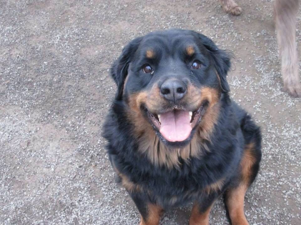 Long Haired Rottweiler I Love Rotties And Other Big Dogs