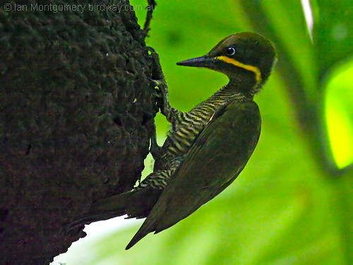 Golden-green Woodpecker Piculus chrysochloros - Google Search