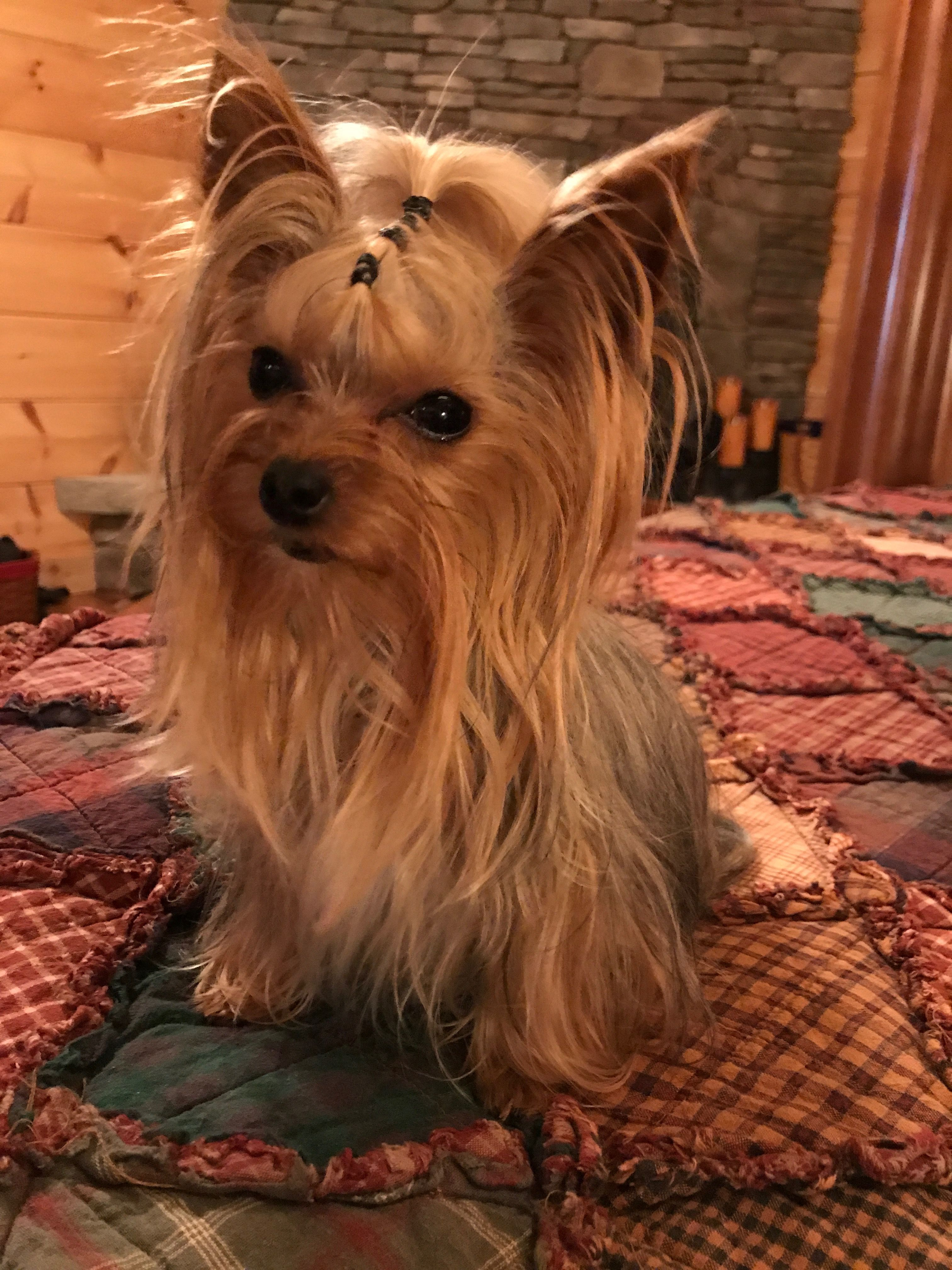 Pin By Regina Church On My Pets Yorkie Dogs Yorkie Yorkshire Terrier