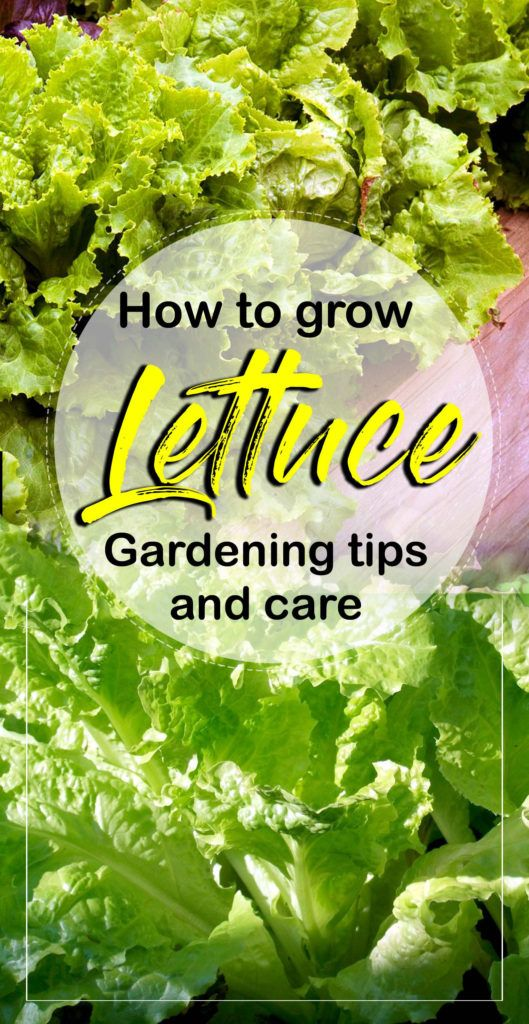 How To Grow Lettuce Growing Lettuce Container Gardening 400 x 300