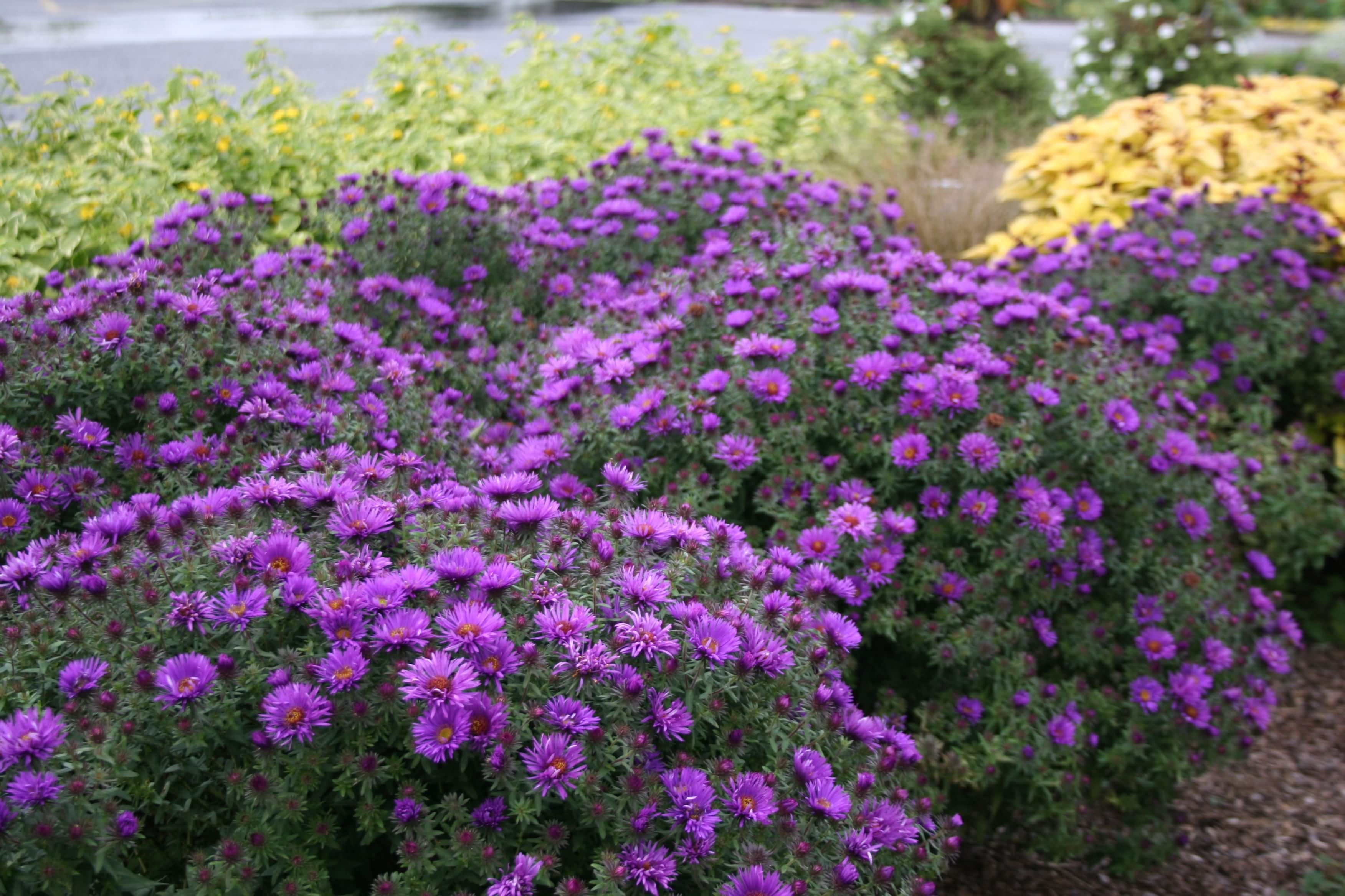 Image Gallery Aster N A Purple Dome Full Sun Perennial Flowers Flowers Perennials Full Sun Perennials