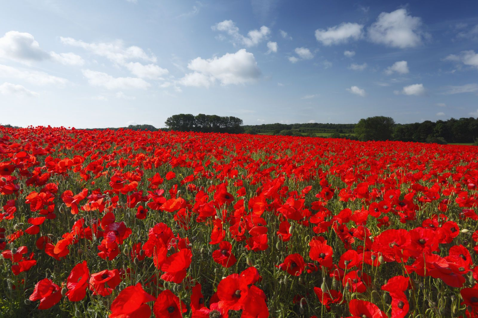 Everything you need to know about poppies flowers gardens and plants red poppies you know this one because of veterans day the red poppy represents remembrance mightylinksfo