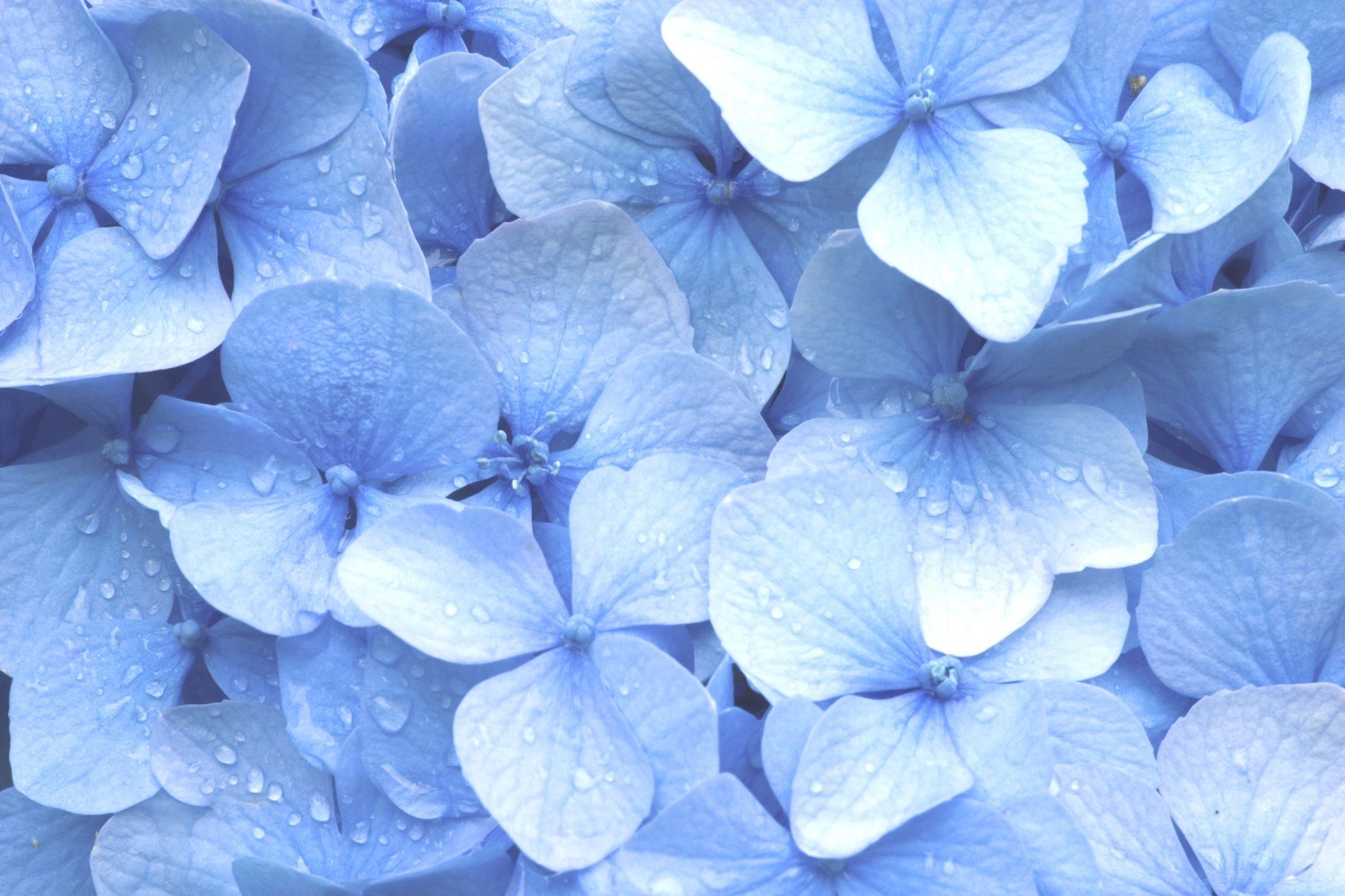 Blue Hydrangea Wallpaper Wallpapersafari Flowers Pinterest