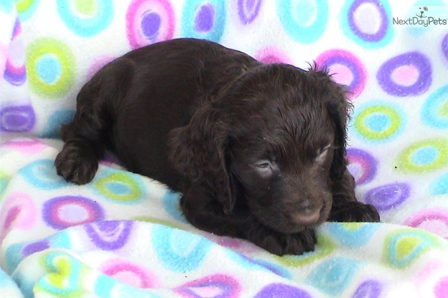Boykin Spaniel Puppies For Sale Under 500 In Sc