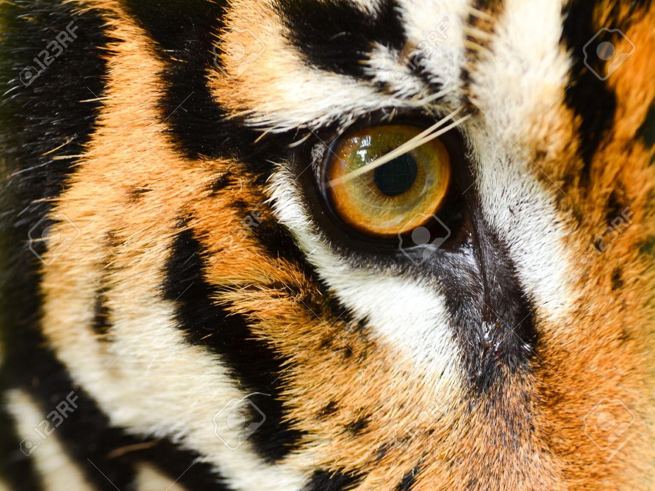Close Up Of Tiger Eye Tiger Eyes Tiger Eye