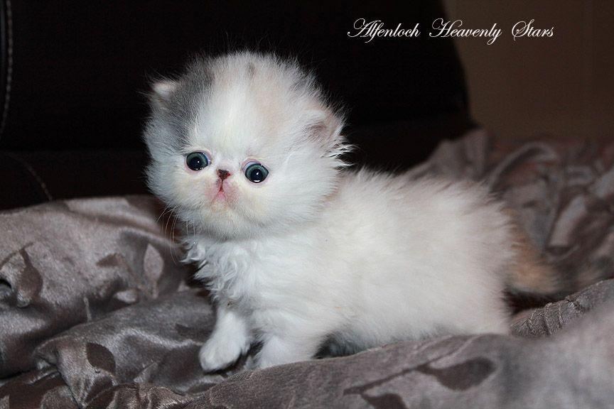 Alfenloch Heavenly Stars Dilute Calico Female Persian Kitten Persian Kittens Cute Baby Cats Cute Cat Gif