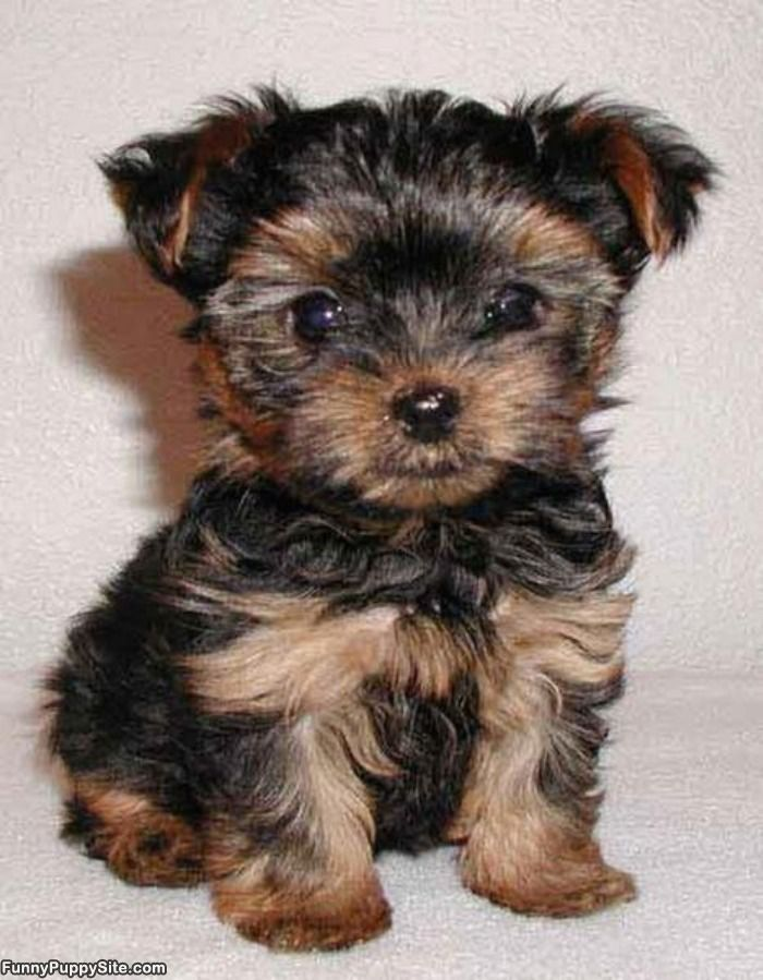 I Consider Teacup Dogs To Be Accessories And I Want To Add One To My Accessory Collection Dog Breeds That Dont Shed Hypoallergenic Dog Breed Yorkie Puppy