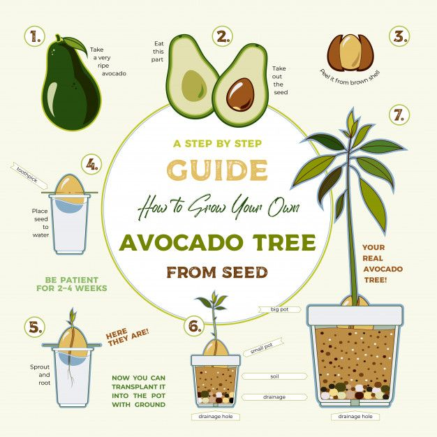 Photo of Avocado Tree Vector Growing Guide. Green Simple Instruction To Grow Avocado Tree From Seed. Avocado Life Cycle.