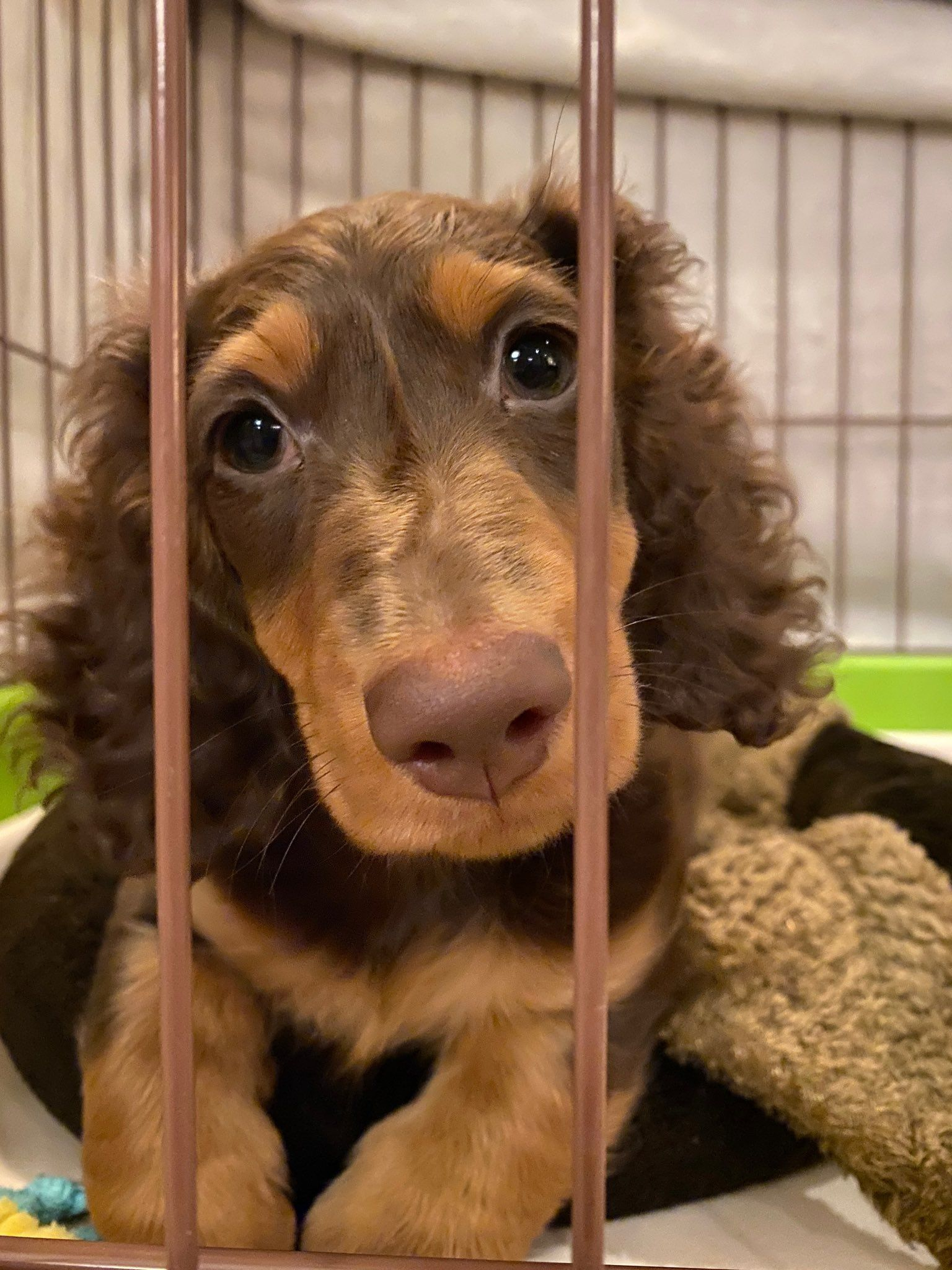 How To Care For A New Dachshund Puppy Taking Care Of Puppies And