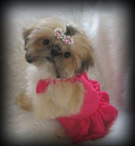 Sweettooth Imperial Shih Tzus Of Salt Lake City Utah Breeder Of