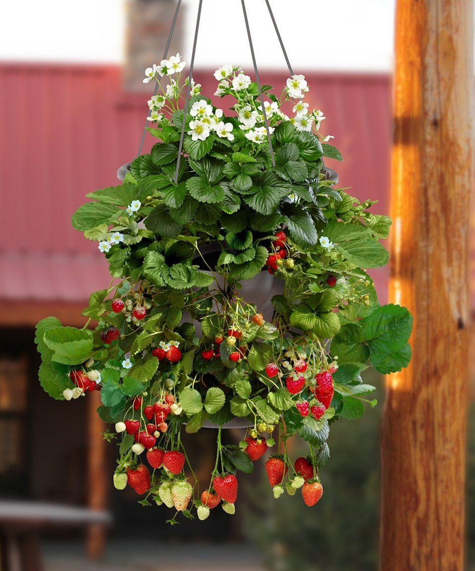 Take A Look At This Homegrown Fragaria Strawberry Hanging Basket