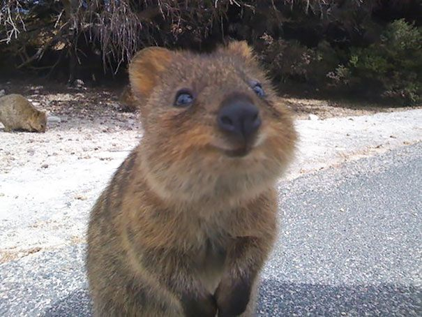 201 Smiling Animals That Will Instantly Make You Smile Smiling Animals Happy Animals Quokka