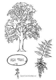 Ash tree colouring page, and other tree color pages too