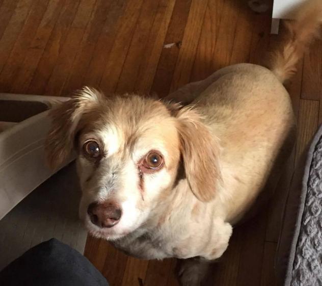 Adopt Rusty On Petfinder Dachshund Mix Golden Retriever