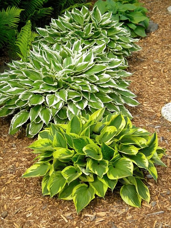 Hostas (Im putting the green/white ones in with the dahlias & zinnias.