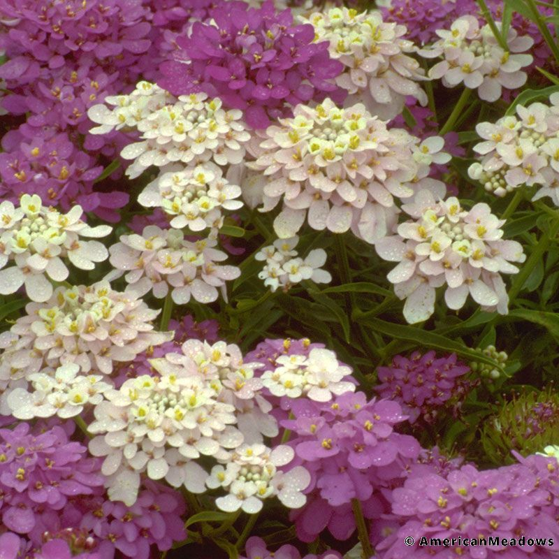 Iberis Google Search Wildflower Seeds White Flowering Plants Flower Pots