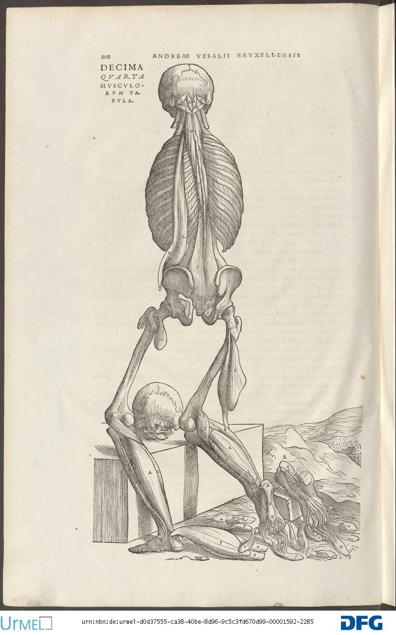 Andreas Vesalius. De Humani corporis fabrica.   anatomia   Pinterest
