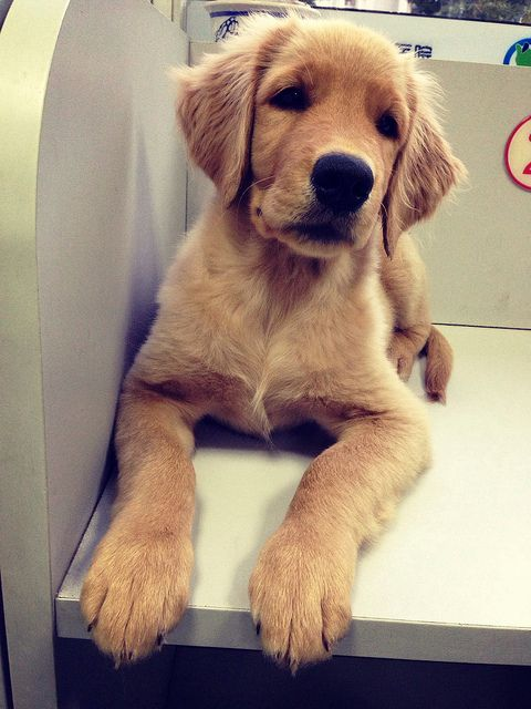 Golden Retriever I Need This In My Life With Images Golden